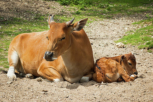 Relaxed in the sun - Mama Banteng and calf by Steppeland -