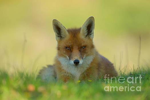 Relaxing fox by Corne Van Oosterhout