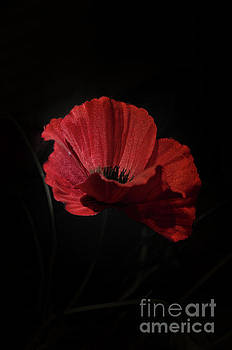 Remembrance poppy 1 by Steev Stamford