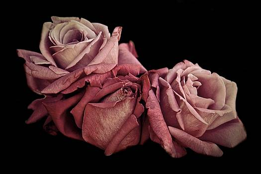 Patricia Strand - Renaissance Roses