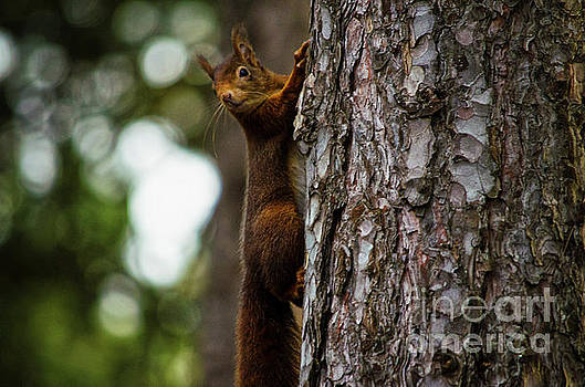 Spade Photo - Red Squirrel