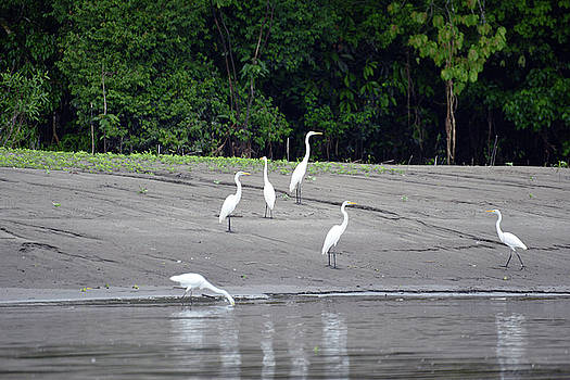 Harvey Barrison - Reserva Nacional Pacaya Samiria and its Egrets