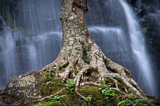 Resilience - Tree Growing on a Boulder at Crabtree Falls by Matt Plyler