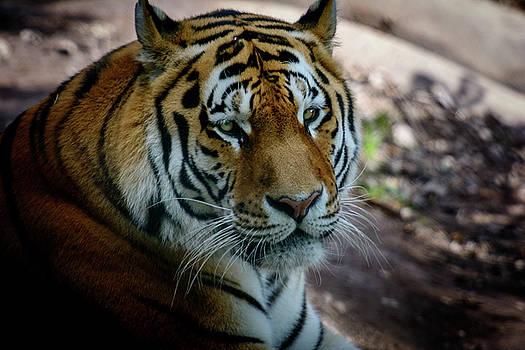 resting Amur tiger by Libor Vrska