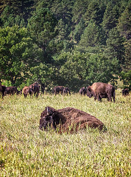Ray Van Gundy - Resting Buffalo