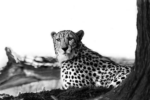 Resting Cheetah B and W by Steve Karol