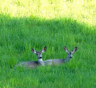 Resting Deer by Will Borden