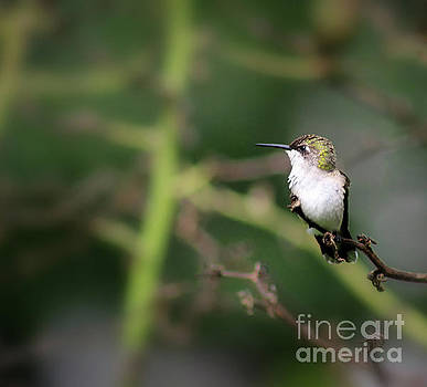 Resting Hummingbird by Karen Adams