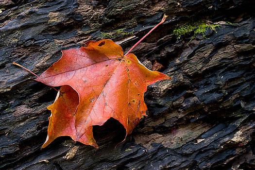Resting Leaves by Carol Hathaway