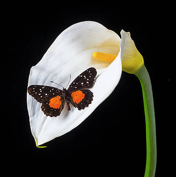 Resting On A Calla Lily by Garry Gay