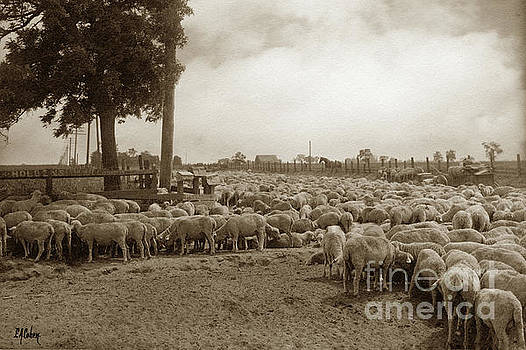 California Views Mr Pat Hathaway Archives - Resting on trip to new pasture, Stockton May 24, 1909