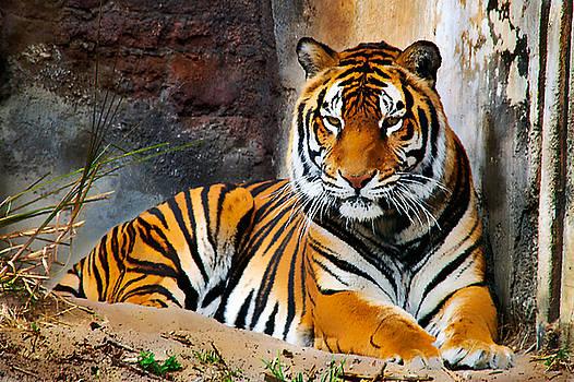 Bibi Rojas - Resting Tiger