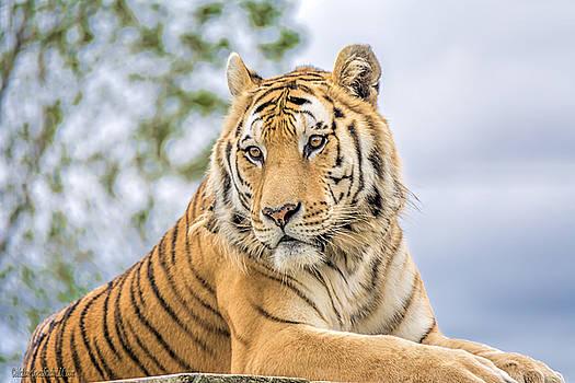 LeeAnn McLaneGoetz McLaneGoetzStudioLLCcom - Resting tiger