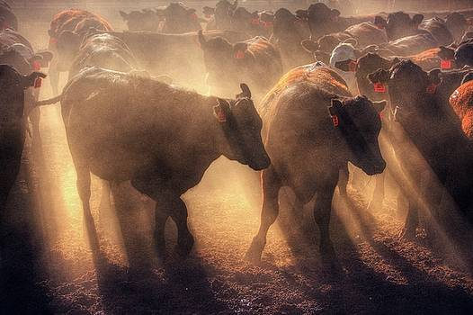 Restless cattle at sunset by Peter Thoeny