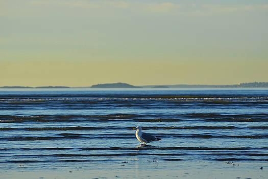 Toby McGuire - Revere Beach Seagull Revere MA