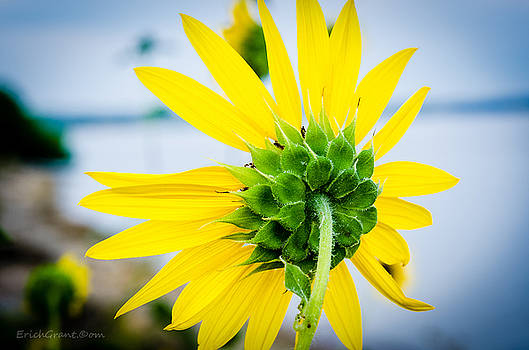 Reverse Sunflower by Erich Grant