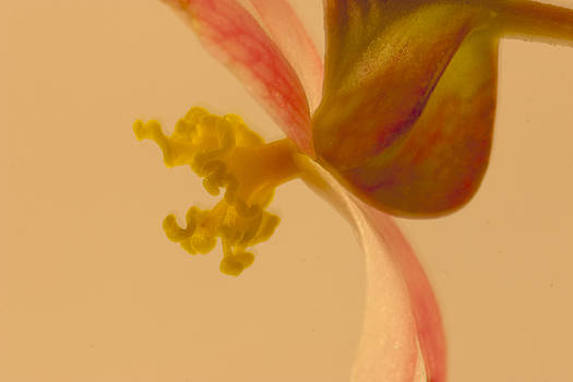 Sandra Foster - Rex Begonia Stamen Macro