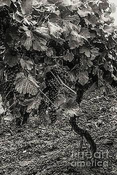 Bob Phillips - Rheinland-Pfalz Grapes 3