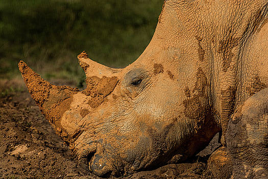 Rhino in the mud by Tito Santiago