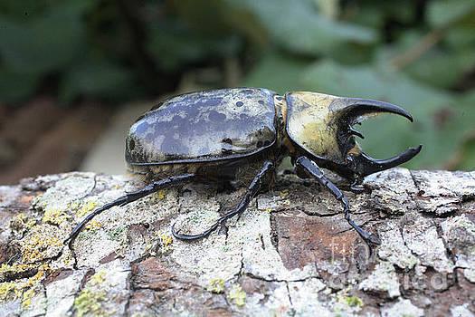 Rhinoceros Beetle by Matt Cormons