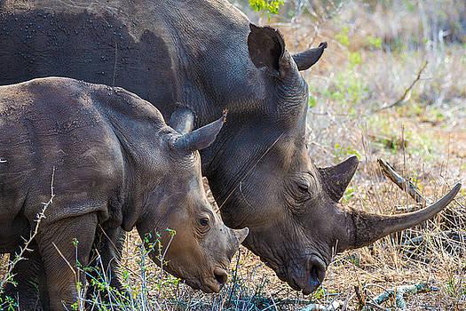 Rhinos by George Salter