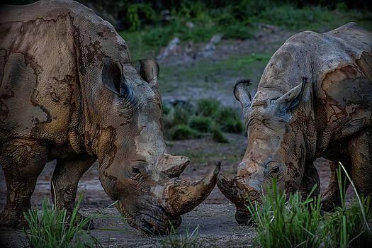 Rhinos Love  by Luis Rosario