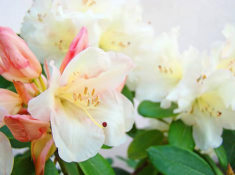 Baslee Troutman - RHODIES Art Prints White Pink Rhododendrons Baslee Troutman