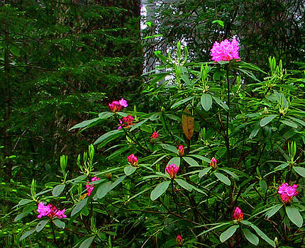 Rhodies In The Redwoods by Tom Kidd