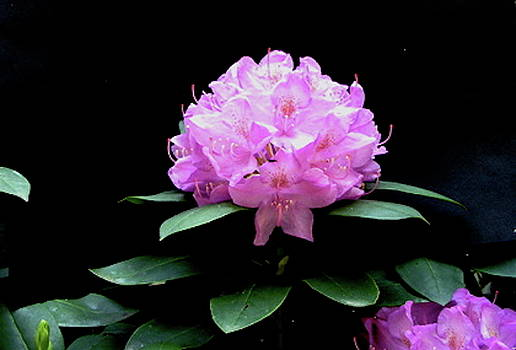 Rhododendron by Betsy Cullen