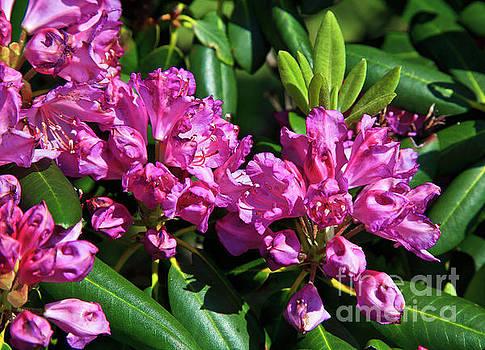 Jill Lang - Rhododendron Blooming