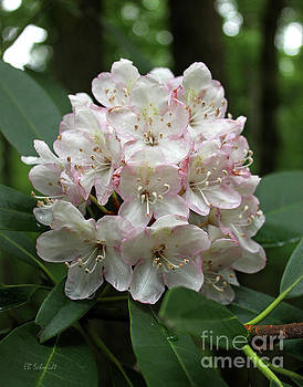 Rhododendron by E B Schmidt