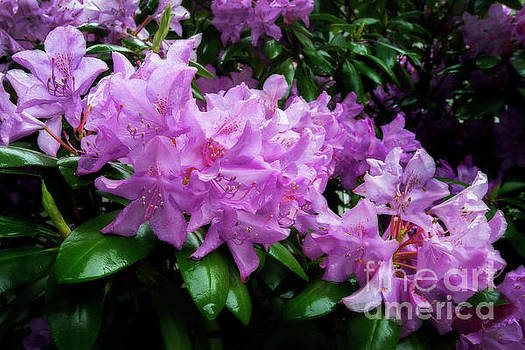 Dan Friend - Rhododendron flowers bunched up