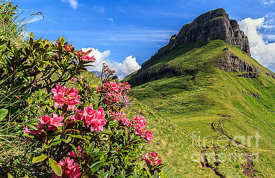 rhododendron flowers in Dolomites by Antonio Scarpi