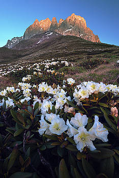 Rhododendron flowers on background of Chaukhi Mountain, Caucasus by Sergey Ryzhkov