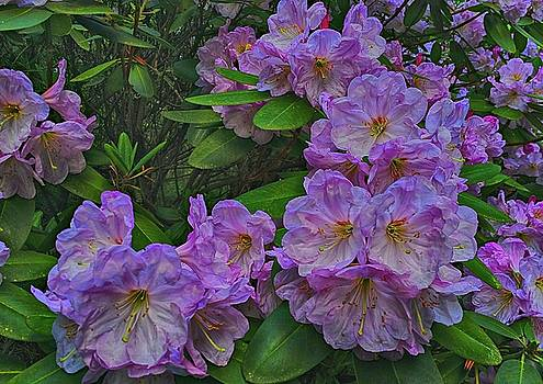 Rhododendron In Bloom by Frank G Montoya