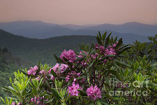 Rhododendron in the Blue Ridge Parkway. by Itai Minovitz