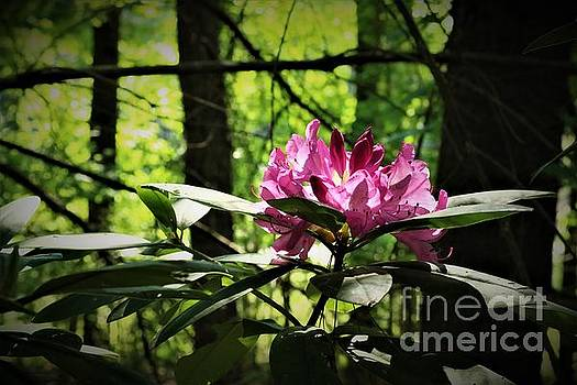 Rhododendron in the Woods by Dee Winslow