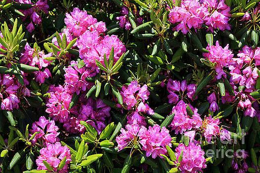 Jill Lang - Rhododendron