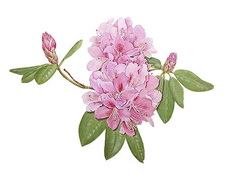 Rhododendron by Linda Wolfe