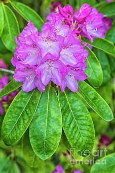Rhododendron by Veikko Suikkanen