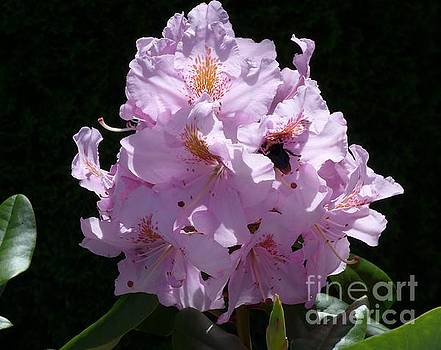 Rhododendron with Bee by Heather McFarlane-Watson