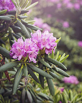 Heather Applegate - Rhododendrons for Days