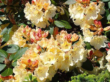 Baslee Troutman - RHODODENDRONS Garden Art Prints Creamy Yellow Orange Rhodies Baslee