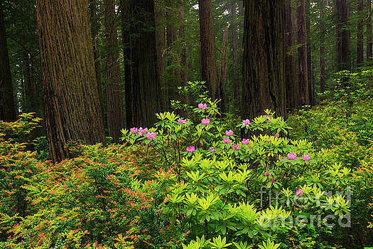 Rhodys and Redwood by Mike Dawson
