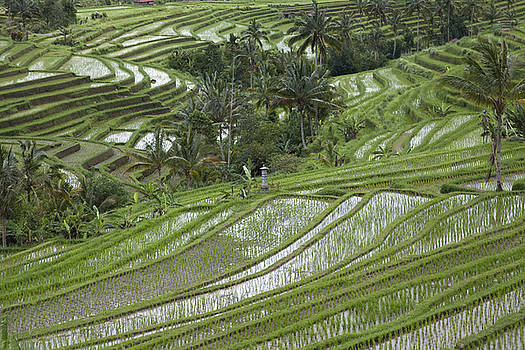 Rice field in Bali Indonesia by Kamala Saraswathi