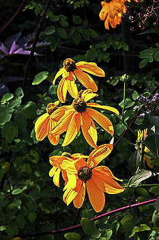 Rich Deep Dark Yellow Black Eyed Susans Dark Green Foliage 2 9152017  by David Frederick