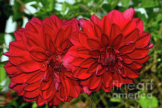 Rich Red Dahlias by Kaye Menner by Kaye Menner