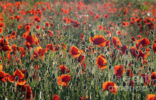 Rich Red Poppys by Paul Farnfield