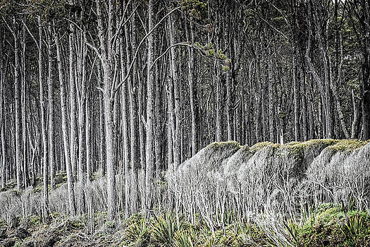 Rimu Trees by Paul Woodford