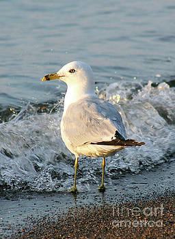 Ring-Billed Gull 02 by E B Schmidt